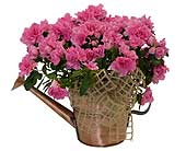 Azalea in Watering Can in Dallas TX, In Bloom Flowers, Gifts and More
