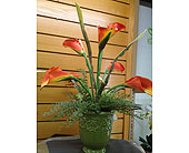 Orange Calla Lilies in New Castle PA, Butz Flowers & Gifts