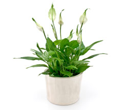 Peace Lily in Nationwide MI, Wesley Berry Florist, Inc.