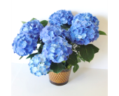 Blue Hydrangea in Nashville TN, Flowers By Louis Hody
