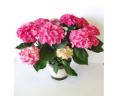 Pink Hydrangea in Decorative Pot in Nashville TN, Flowers By Louis Hody