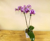 Purple Phalaenopsis in Palm Beach Gardens FL, Floral Gardens & Gifts