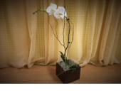 White Phalaenopsis in Palm Beach Gardens FL, Floral Gardens & Gifts