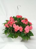 Begonia Hanging Basket in Northern Cambria PA, Rouse's Flower Shop & Greenhouses