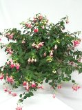 Fusia Hanging Basket in Northern Cambria PA, Rouse's Flower Shop & Greenhouses