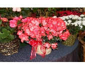 Assortment of Azaleas in Nashville TN, Emma's Flowers & Gifts, Inc.