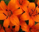 Designer's Choice Tiger Lilies in San Clemente CA, Beach City Florist