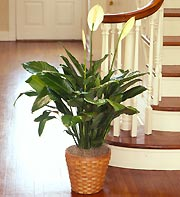 Spathiphyllum Floor Plant for Sympathy in Oakland CA, From The Heart Floral