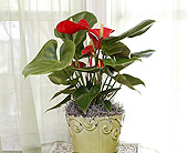 6 Inch Red Anthurium in Longview, Texas, Casa Flora Flower Shop