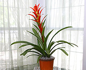 6 Inch Bromeliad in Longview TX, Casa Flora Flower Shop