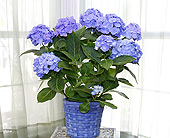 Blue Hydrangae in Longview TX, Casa Flora Flower Shop