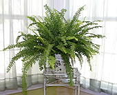 6 Inch Fern in Longview TX, Casa Flora Flower Shop