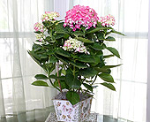 6 Inch Pink Hydrangea in Longview TX, Casa Flora Flower Shop