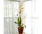 Oncidium Hybrid in Longview TX, Casa Flora Flower Shop