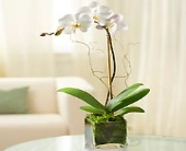 1 Stem White Phalaenopsis Orchid for Sympathy in Oakland CA, From The Heart Floral