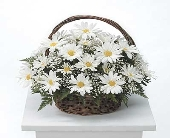 White daisy basket  Arrangement in Highlands Ranch CO, TD Florist Designs