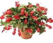 Christmas Cactus, Roak's Grown in Lewiston ME, Roak The Florist