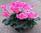 Cyclamen, Roak's Grown in Lewiston ME, Roak The Florist