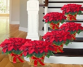 Fishers Flowers - Poinsettia Package - George Thomas, Inc.