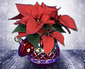 Raytown Flowers - Poinsettia in an Ornament - The Village Gardens