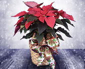 Raytown Flowers - Poinsettia in Basket W/Bow - The Village Gardens
