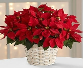 FTS- Poinsettias in White Basket in Woodbridge VA, Lake Ridge Florist