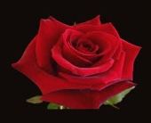 Dozen Long Stem Red Roses with Clear Wrapping in Kitchener ON, Lee Saunders Flowers