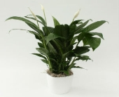 Peace Lily in Ceramic Pot  in Grimsby, Ontario, Cole's Florist Inc.