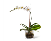 ORCHID PLANT in North York ON, Aprile Florist