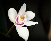 Orchid Boutonniere in Seattle WA, Topper's European Floral Design