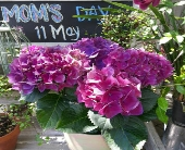 Purple Hydrangea Plant in Orinda, California, Misaghi Design Orinda Florist