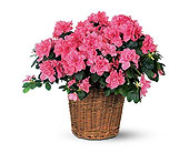 Pink Azalea in Dallas TX, In Bloom Flowers, Gifts and More