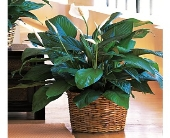 Small Spathiphyllum Plant  in Dallas TX, In Bloom Flowers, Gifts and More