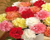 CARNATIONS in Edmonton AB, Petals For Less Ltd.