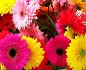 GERBERA DAISY in Edmonton AB, Petals For Less Ltd.