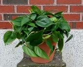 Philodendron in Westbrook ME, Harmon's & Barton's/Portland & Westbrook