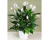 Peace Lily Plant in Houston TX, River Oaks Flower House, Inc.