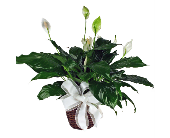 Peace Lily in Indianapolis IN, McNamara Florist