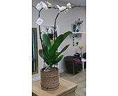 Orchid Planter in Mississauga ON, Flowers By Uniquely Yours