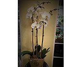 Rancho Cordova Flowers - White Butterfly Orchid Plants - Sherwood Florist