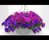 Blooming Fuchsia Hanging Basket