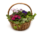 African Violets Basket in Ft. Collins CO, Palmer Flowers