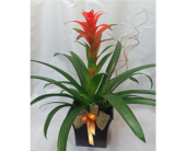 Bromeliad in Grand Rapids MN, Shaw Florists