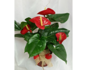 Anthurium in Grand Rapids MN, Shaw Florists