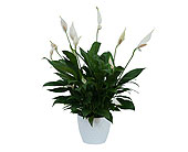 Peace Lily Plant in White Ceramic Container in Westminster CA, Dave's Flowers