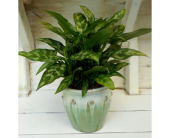 Chinese Evergreen Plant in Skowhegan, Maine, Boynton's Greenhouses, Inc.