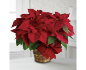 Fishers Flowers - Red Poinsettia Plant - George Thomas, Inc.