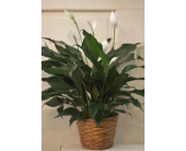 Winchester Flowers - Peace Lily - Flowers By Snellings