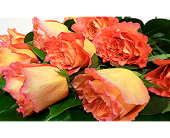 Orange Roses Wrapped in London ON, Posno Flowers