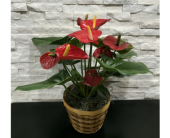 Anthurium Plant in Ft. Collins CO, Palmer Flowers